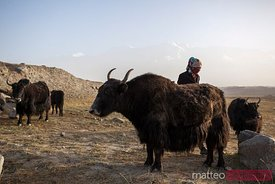 Kyrgyz woman milking a yak, Xinjiang, China