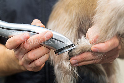 Dog Paw Being Groomed With Clippers
