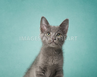 Gray kitten on teal background