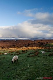 Sheeps grazing on green field Scotland UK