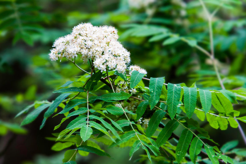 Rowan - Pihlaja - Sorbus aucuparia photos