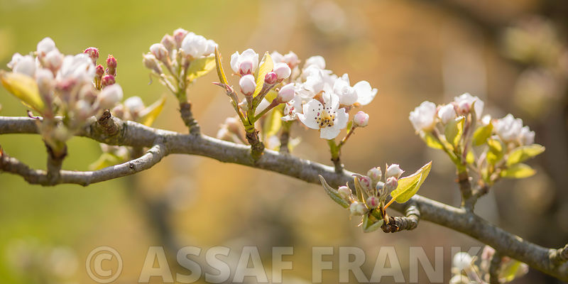 Pear Blossom flowers