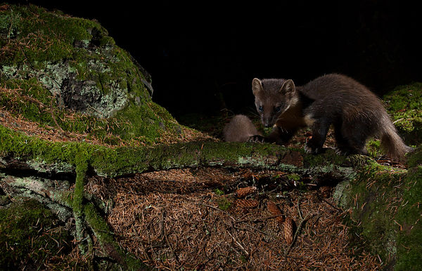 Pine Marten on the forest floor