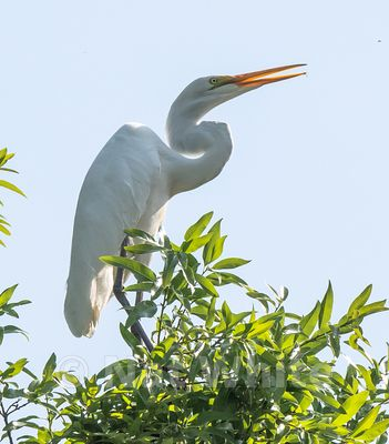 Canyon_Farm_Egret-Canyon_Farm_Egret-13-May_15_2018-May_15_2018-