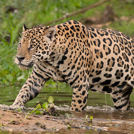 Jaguar wildlife photos
