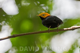 Golden--headed manakin (Ceratopipra erythrocephala) male at lek at Canopy Camp in Darién Panama