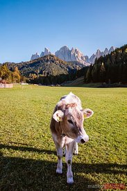 Cow in a green meadow, Funes valley, Dolomites, Italy