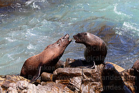 Female South American fur seals (Arctocephalus australis) fighting
