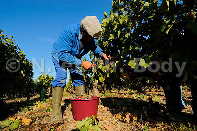 VENDANGES, MAINE ET LOIRE, FRANCE//GRAPE HARVEST, MAINE ET LOIRE, FRANCE
