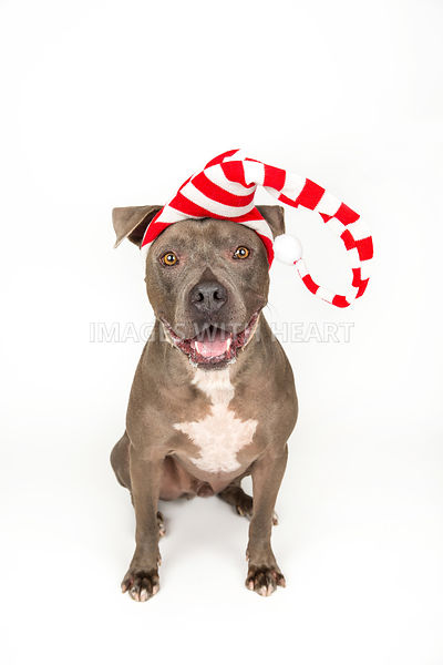 Large dog, sitting wearing red and white hat