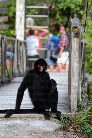 Peruvian spider monkey ( Ateles chamek ) sitting on footbridge at wildlife sanctuary , tourists in background
