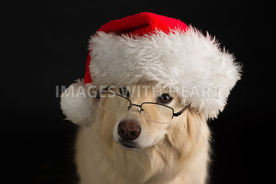 Studio head shot dog wearing santa hat and glasses