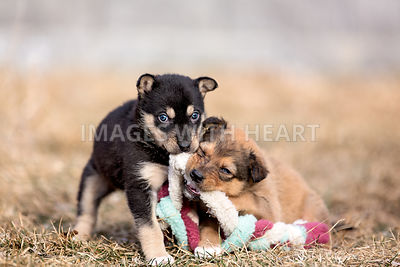 Two puppies with toy