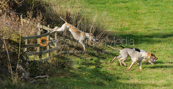 Foxhounds jumping a  fence