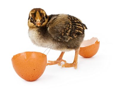 A newly hatched baby brown and yellow chicken
