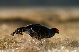 Black Grouse eating Cottongrass
