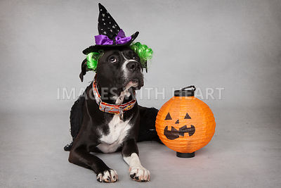 Halloween theme dog with Jack o'lantern