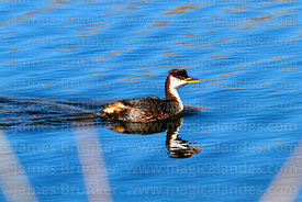Titicaca flightless grebe (Rollandia microptera)