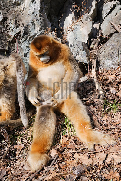 Golden Monkey Grooming Itself