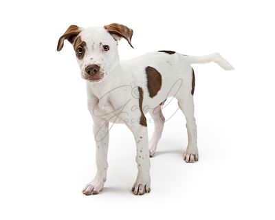 White Pointer Puppy With Brown Spots