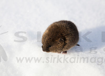 Mice & voles & lemmings photos