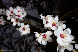 Close Up of Almond Blossoms #7