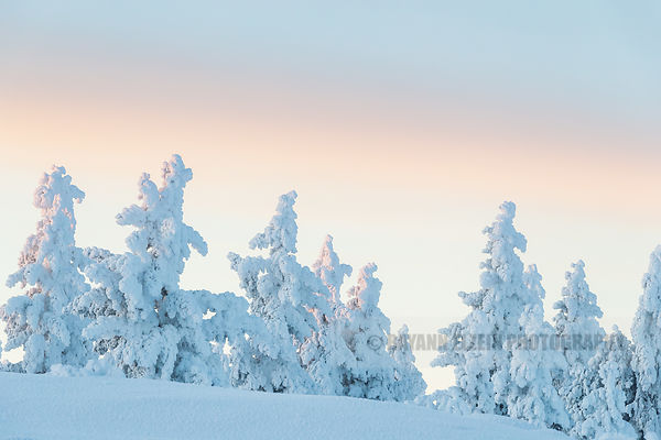 Last light of the day on spruce trees in Inari