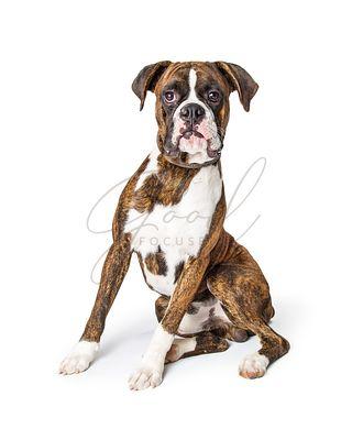 Purebred Boxer Dog Sitting Looking Forward