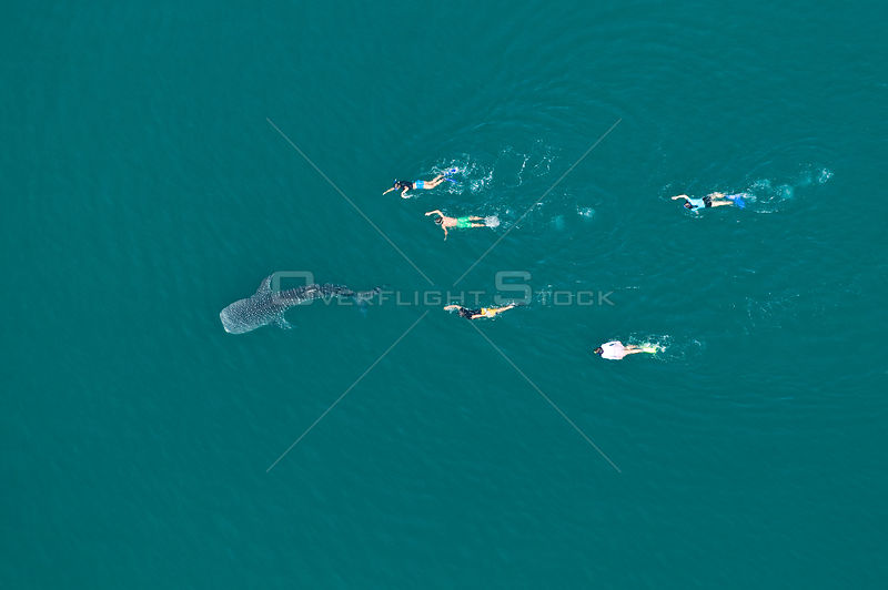 Whale shark (Rhincodon typus) aerial view of juvenile with five people swimming / snorkelling behind, La Paz Bay, Sea of Cortez (Gulf of California), Baja California, Mexico, March 2009