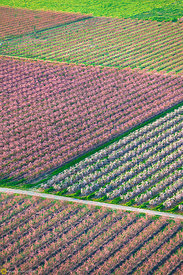 Peach Orchards in Bloom from the Air #19
