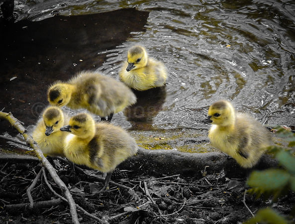 'Gossiping Goslings'