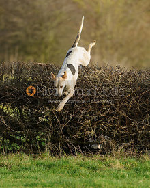 A Cottesmore hound jumps a hedge