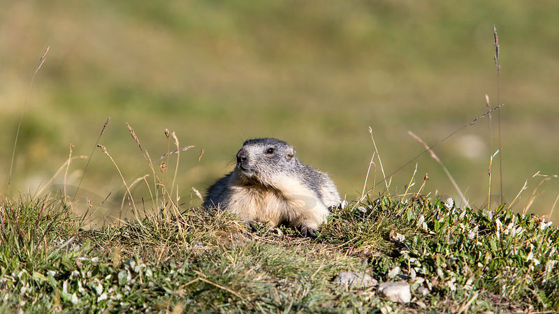 The Alpine marmot photos