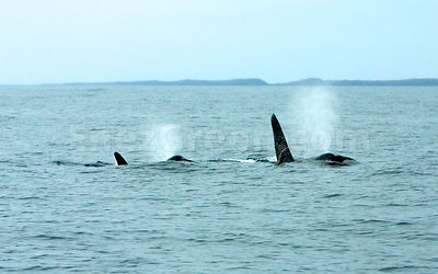 Orcas in Outer Hebrides Scotland