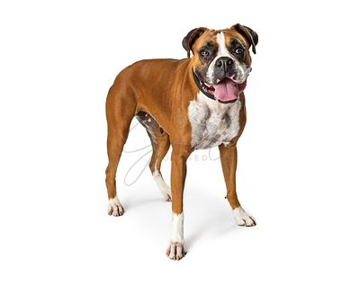 Boxer Crossbreed Dog Standing on White