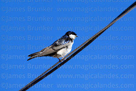 Blue-and-white swallow ( Notiochelidon cyanoleuca )