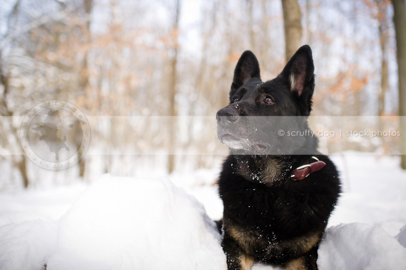 Stock Photo Humorous German Shepherd Dog Shaking Off Snow In Forest