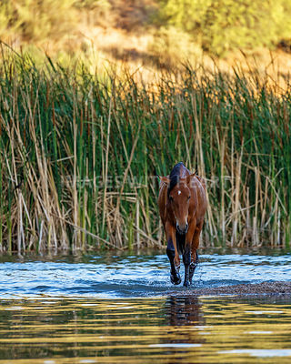 Wild Horse Walking Forward in Salt River