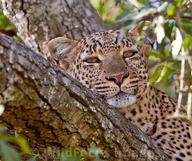 Female leopard in tree, Panthera pardus, Masai Mara National Reserve, Kenya; Landscape