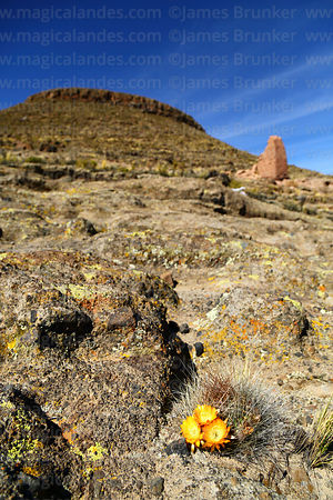 Flowering cactus and ruined chulpa on side of Cerro Monterani hill, near Curahuara de Carangas, Oruro Department, Bolivia