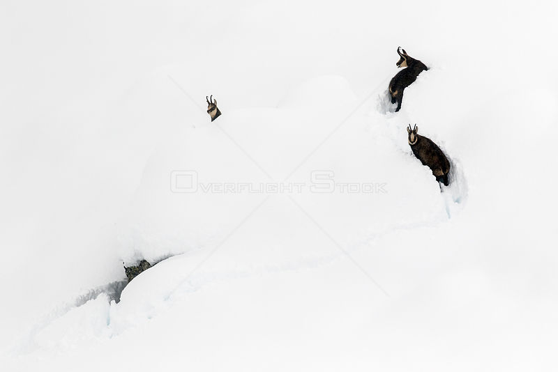 Chamois (Rupicapra rupicapra) in deep snow, Gran Paradiso National Park, Italy. November. Commended in the Asferico Photography Competition 2016.