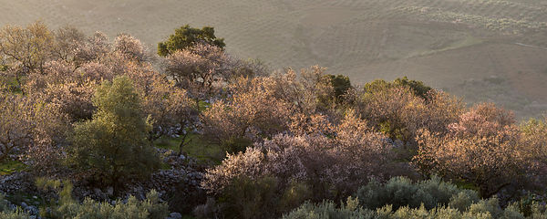 Early spring almond blossom in Andalusia