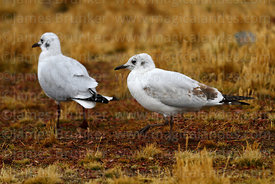 Adult (L) and 1st winter immature (R) Andean gulls (Larus or Chroicocephalus serranus) in winter plumage