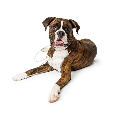 Purebred Boxer Dog Lying Down Looking at Camera