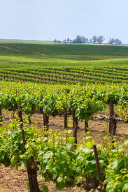 Vineyards East of Modesto #6