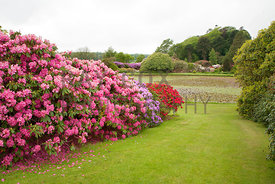 Rhododendrons by Round Pond