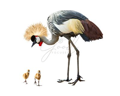 Grey Crowned Crane With Babies Extracted