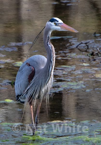 Blue_Heron_-1-April_08_2018-Copyright