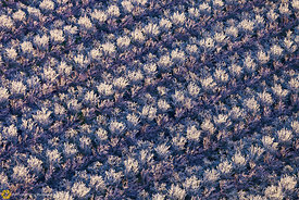 Almond Orchards in Bloom from the Air #22