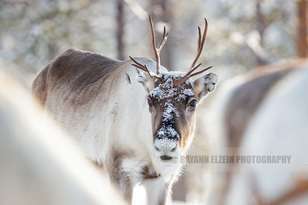 Reindeer looking at the camera in Lapland
